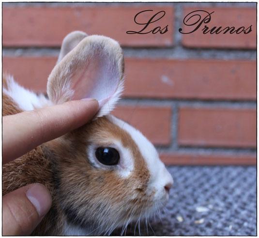 Spoony, la primera coneja con esta mutación introducida en un proyecto de cría en España