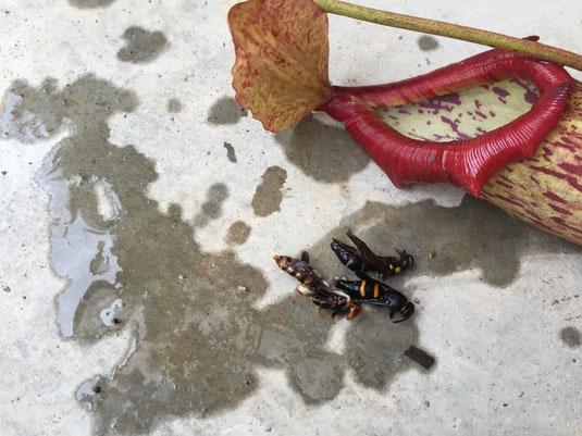 液体と一緒に蜂が三匹! 他の壺にも入ってたから偶然ではなく呼び寄せてるんですね~、、、(感心)てか、なんで出られなくなるんやろ?入口でかいのに??液体は消化液と言うか酸性の液だと思うけど、触れて直ぐどうかなるほど強くは無いだろうから、壺の構造に秘密があんのかな? 食虫植物恐るべし! (壺は乾燥中なんで仕上がったらブログで、。)