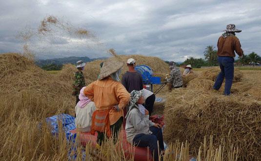 Scène de moisson au Laos