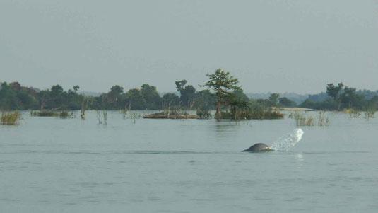 Dauphins de l'Irrawady