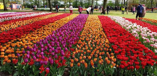 Fioritura di tulipani al Parco di Keukenhof