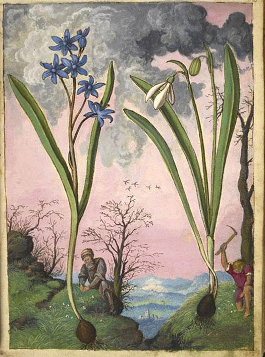 """dipinto con Galanthus nivalis e Ipheion?, da """"Discoride. De re medica"""" di Pietro Andrea Mattioli  illustrato da Gherardo Cibo, 1564-1584 ca"""