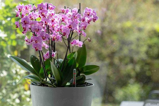 orchidée arrosage connecté avec OriCine® lumière