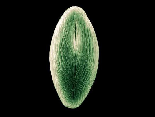 Ahorn-Pollen