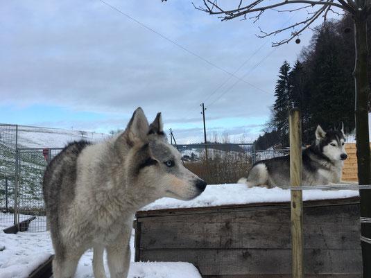 Yukon und Amarok auf dem Ausguck.