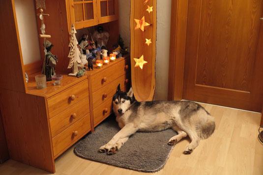 Amarok möchte auch zur weihnachtlichen Familie dazugehören.