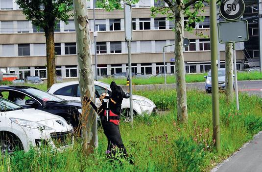 Asiatischer Laubholzbockkäfer Spürhund Maisha, Anoplophora Spürhunde Schweiz
