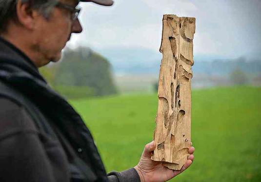 Befallenes Holz vom Asiatischen Laubholzbockköfer