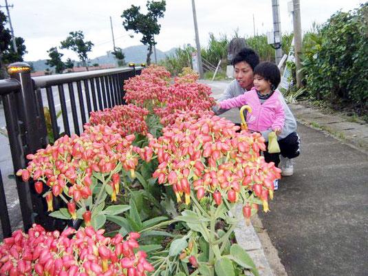 雨の合間、傘を下して咲き誇るキダチベンケイを見つめる親子=伊野田、7日午後5時ごろ。