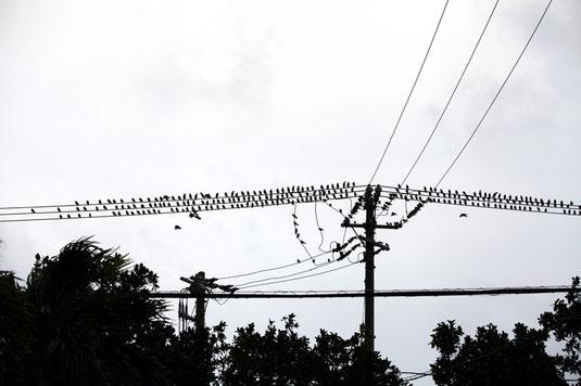 北風に体を膨らませるギンムクドリの群れ。350羽ほどが確認された=宮良、3日