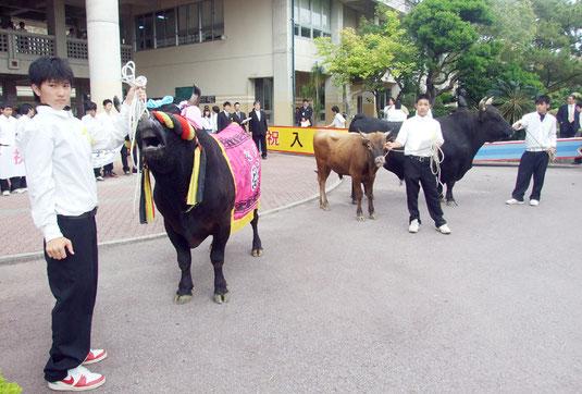 八重山農林高校に闘牛3頭が入学=9日午後、同校