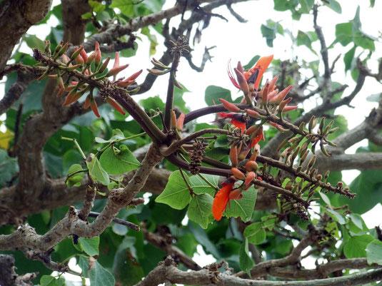 たくさんの花芽をつけている竹富島のデイゴ=15日午後