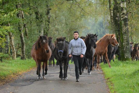 2015: die alten Damen führen die Herde zum Hof. Am Halfter von Vivianne Sell: Brana, 29jährig