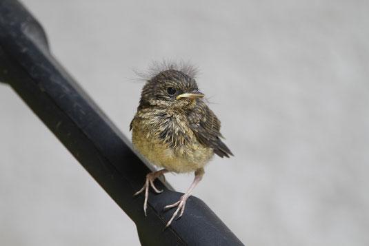 """Jungvogel mit """"schicker Frisur""""  Foto: J.Fünfstück"""