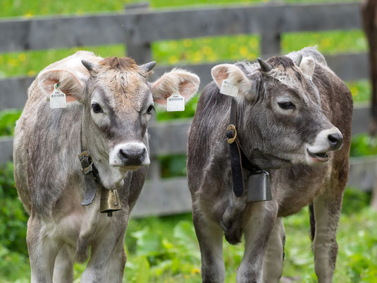 Junge Rinder auf der Weide, bäuerliche Landwirtschaft wie aus dem Bilderbuch?? Foto: O. Wittig