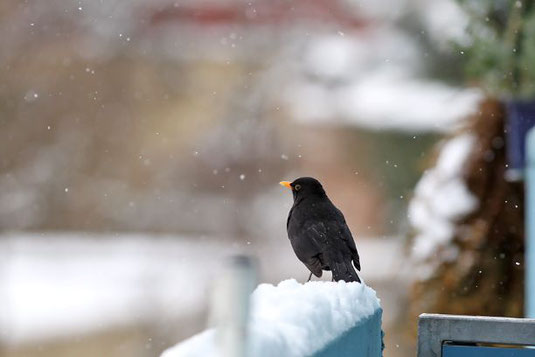 Amselhahn im Winter                Foto: Claudia Becher