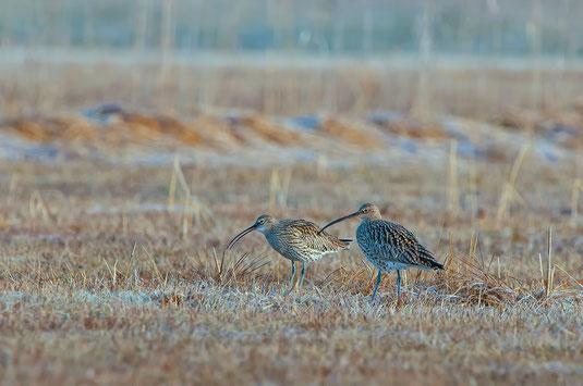 Schon im März kommen die Brachvögel aus ihren Überwinterungsgebieten zurück. Foto: M. Thoma