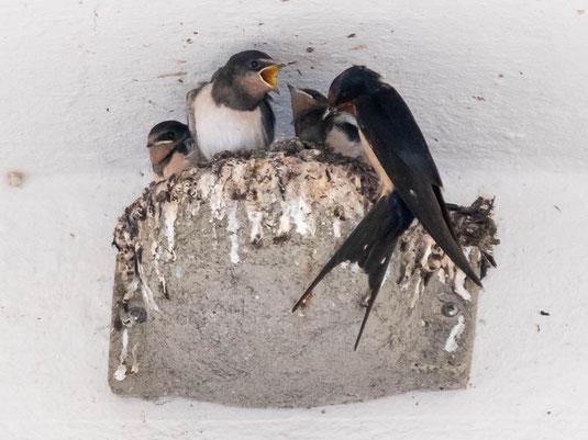 Rauchschwalben-Nest mit Jungvögeln in der Kaiserstraße (Foto: Juretzky)