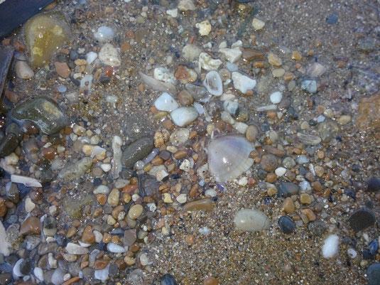 Mactra stultorum e altri bivalvi sparsi nel detrito della spiaggia.