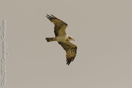 Fischadler (Foto: Th. Bergmann)