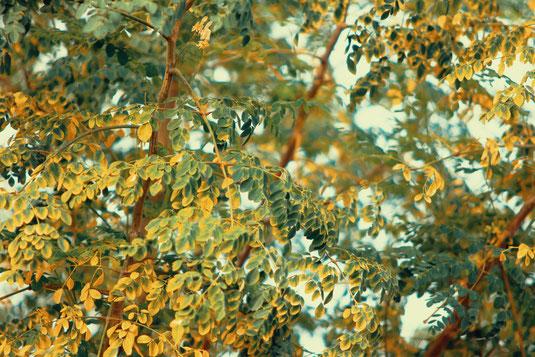 Kratombooster Wunderbaum Moringa Oleifera