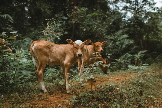 Jungvieh, junge Kühe auf der Alm