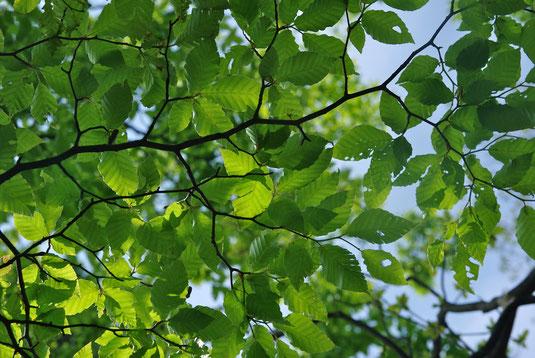 丹沢のブナ林