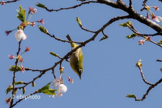 葉桜とメジロ