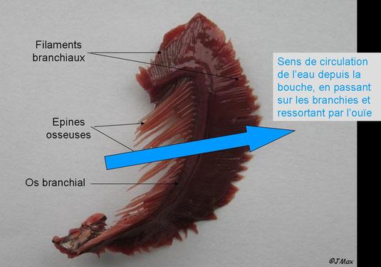 Branchie de poisson légendée. Modifié de J.Max