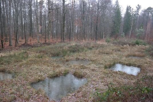 Permanente Tümpel eigens für die Gelbbauchunke angelegt, erzielten nur im ersten Jahr einen positiven Effekt. Nun wird deren Einfluss auf neu angelegte Laichgewässer untersucht.