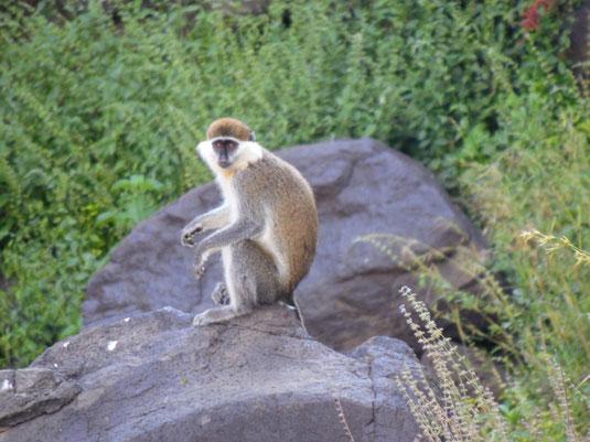 äthiopische Grünmeerkatze, Affe - Äthiopien - Bahir Dar - Tana See