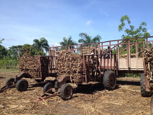 Zuckerrohr, Dom Rep, Dominikanische Republik, Bayaguana