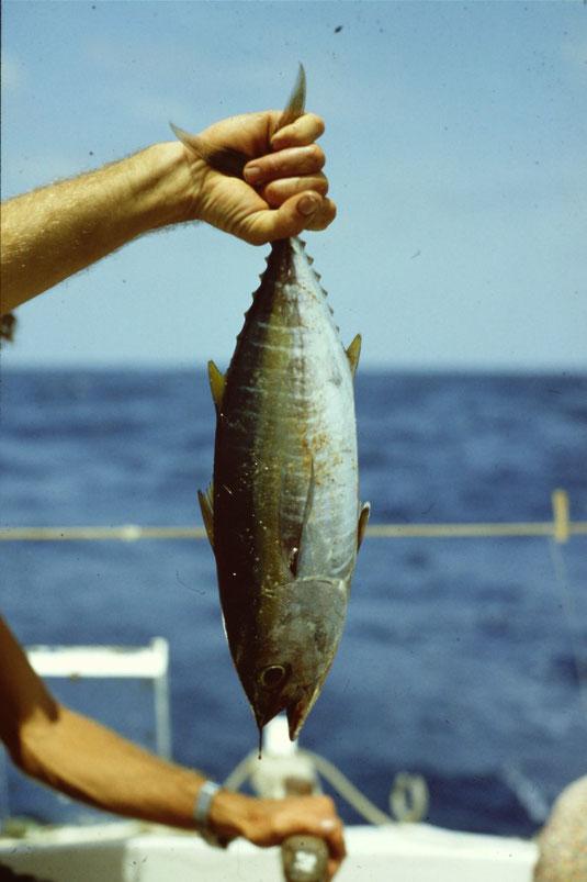 Reisebericht, Reiseblog, Atlantik, Überquerung, Segeltörn, von Senegal nach Brasilien, Thunfisch