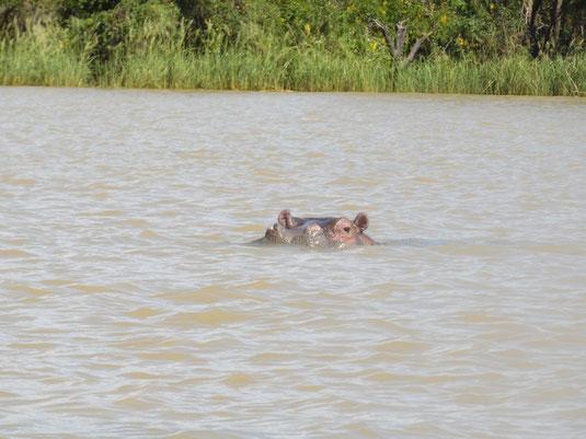 Bahir Dar, Tana See, Blauer Nil, Nilpferd, Flusspferd
