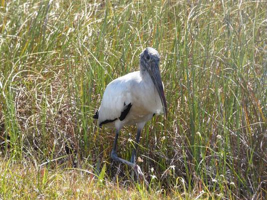 Florida, Everglades, Flamingo Marina, Bootsfahrt, Ausflug Schiff, Waldstorch, Wood Stork