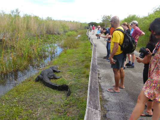 Florida, Everglades, Anhinga Trail, Alligator, Krokodil