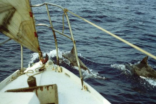 Reisebericht, Reiseblog, Atlantik, Überquerung, Segeltörn, von Senegal nach Brasilien, Delfine