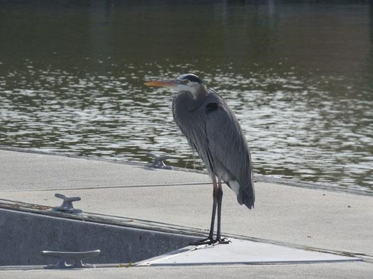 Florida, Everglades, Flamingo Marina, Bootsfahrt, Ausflug Schiff, Kanadareiher (Great Blue Heron)