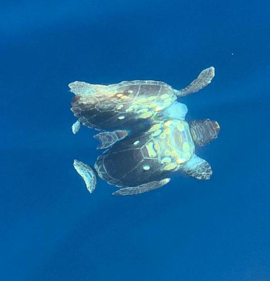 Kroatien, Segeln, Schildkröte, Karettschildkröte, Paarung