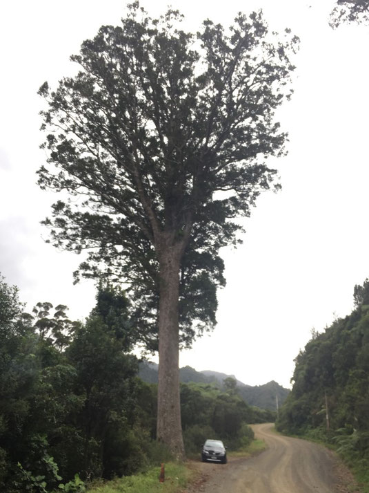 Cathedral Cove, Whitianga, Coromandel, Kauri