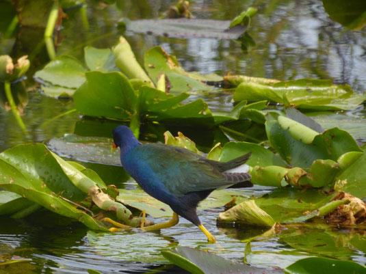 Florida, Everglades, Anhinga Trail, Zwergsultanshuhn, Wasservogel