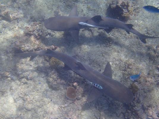 Kuata Island: Schwimmen mit Haien