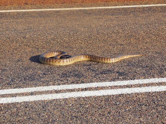 Australien, Northern Territory, Stuart Highway, Schlange