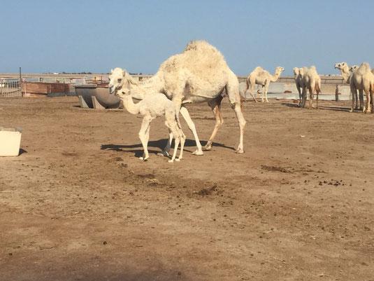 Kuwait, Failaka, Kamel Farm, Kuwait, Heritage Village, Reisebericht, Reiseblog, Sehenswürdigkeiten, Attraktion, Failaka, Insel, Fähre,