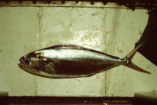 Reisebericht, Reiseblog, Atlantik, Überquerung, Segeltörn, von Senegal nach Brasilien, goldener Fisch