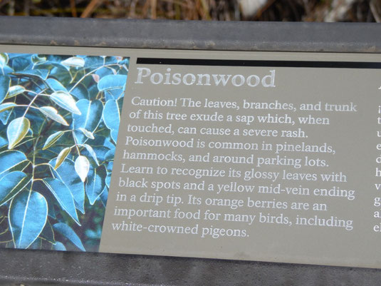 Florida, Everglades, Poisonwood