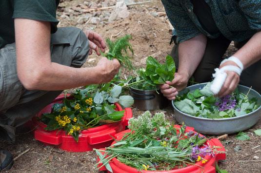 Pflanzen bestimmen, unterscheiden und zubereiten