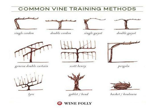 winter-pruning-techniques-French-vineyards