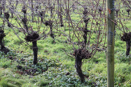 english-vineyard-bath-hybrid-grape-varieties