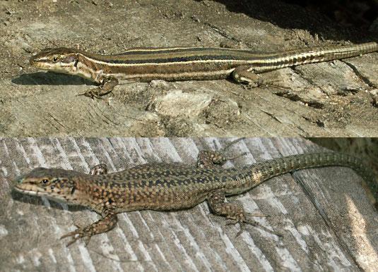 Podarcis guadarramae lusitanicus. Hembra (arriba) y macho (abajo). Cional (Zamora).  © V. Sancho 2014